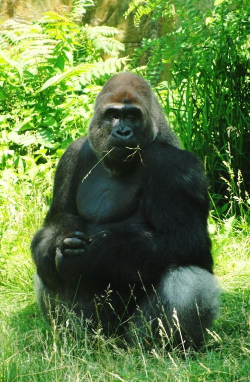 Gorilla, Henry Doorly Zoo, Best Zoo, Omaha Zoo, Western Lowland Gorillas