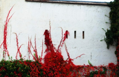 Wittenberg, Germany, Ivy, ivy covered walls, fall color