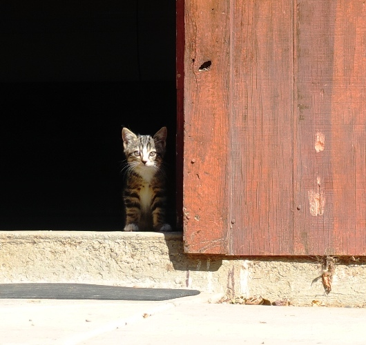 Shy Kitten, Little kittens, Barn kittens, orchard, barn, farm