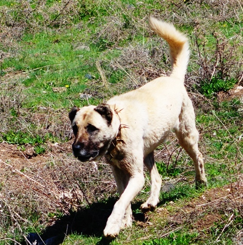 Kangal Dog, Guardian Dog, Turkey, Anatolian Shepherd