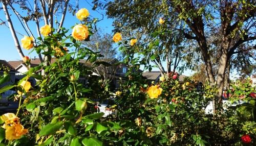 December Roses, California seasons