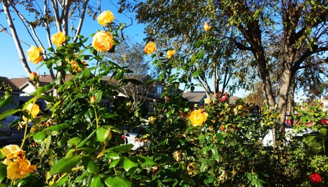 December Roses, California seasons