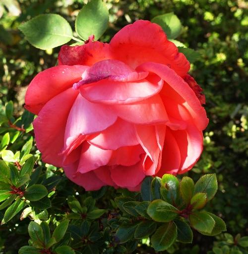 Tropican Rose, December Rose