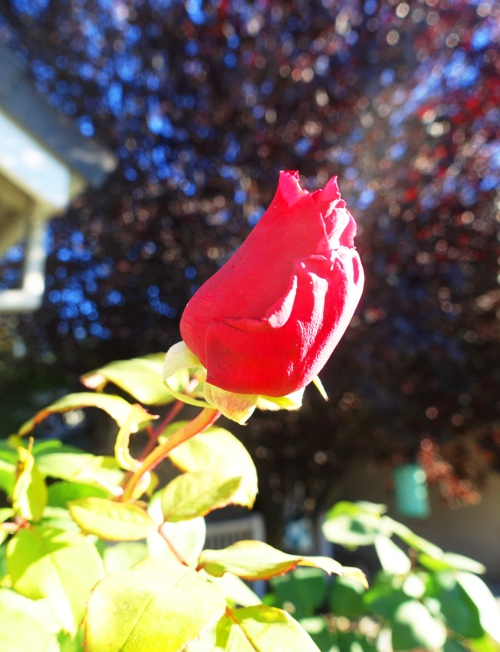 Rose Bud, Mr. Lincoln Rose, Red Rose