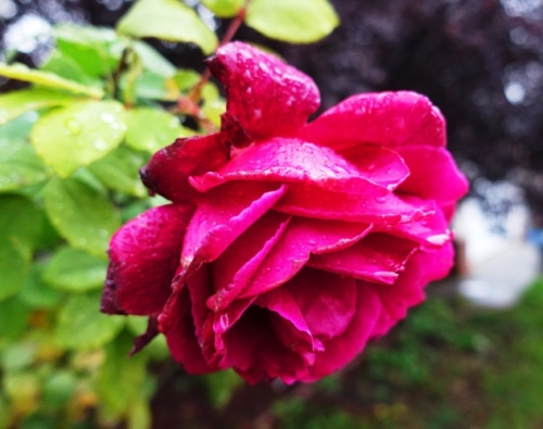 Roses, Raindrops on Roses, Sound of Music, Favorite Things