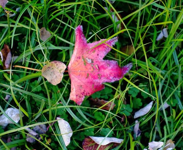 Leaf in yard, red leaf, yard work, autumn leaves