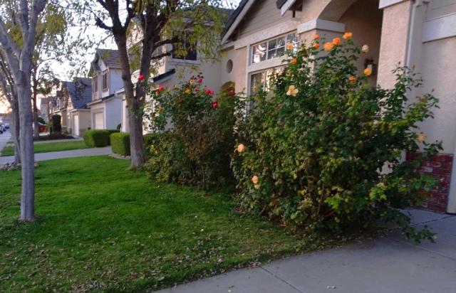 Front yard, yard work, winter yard work, winter roses