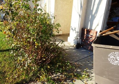 Rose Bushes, Pruning, Winter Yard Work