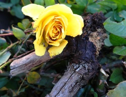 Rotten Root, Rose Bloom, Yard Waste
