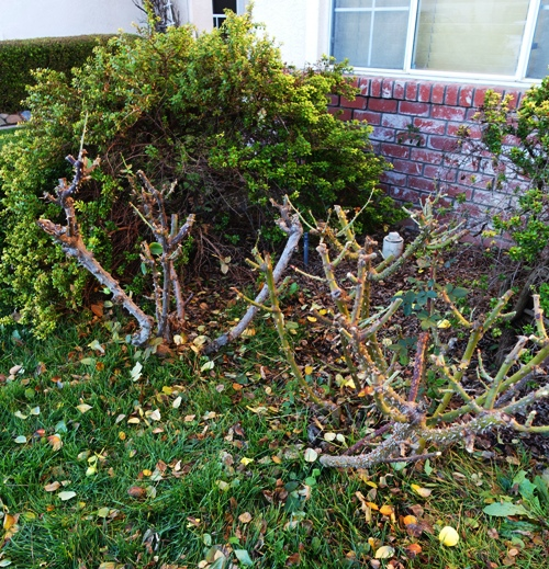 Roses, Hybrid Tea, Pruning, Lifespan of roses