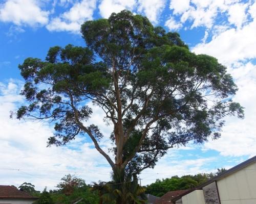 Macquarie Church of Christ, Eucalyptus Tree, Australia