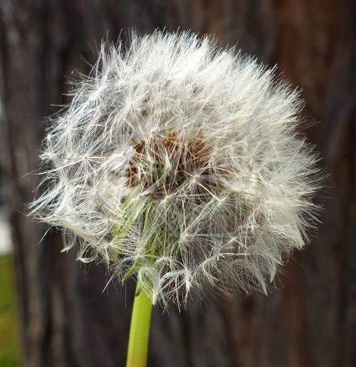 Dandelions, Spring, Sign of Spring