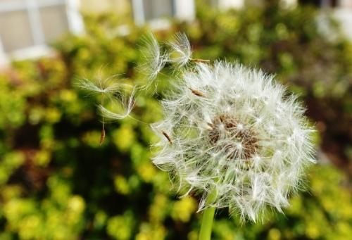 Dandelion, Seeds, Blowing Seeds, Spring