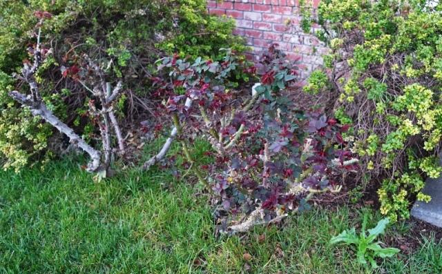 new growth, roses, Hybride tea roses, Tropicana, St. Patrick's Rose