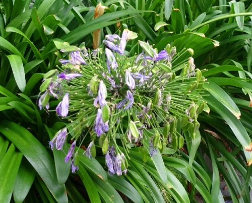 Agapanthus, Late bloom, Australia, late summer