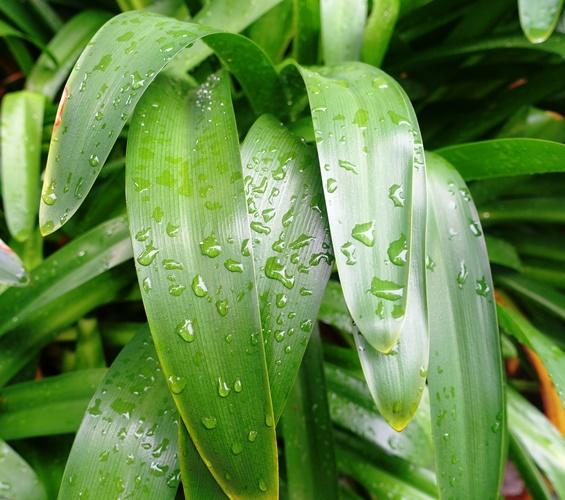 rain drops, agapanthus, Australia, thunderstorm
