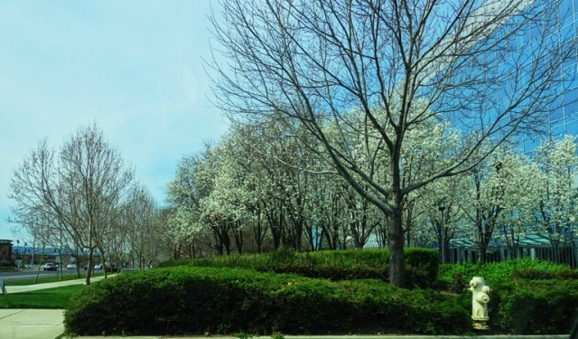 California Spring, Blossoms, White blossoms