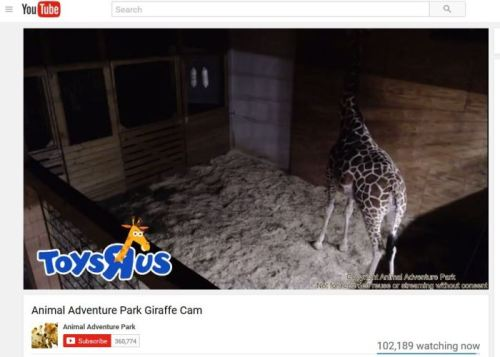 April the Giraffe, Giraffe Birth, Animal Adventure Park, Streaming Video