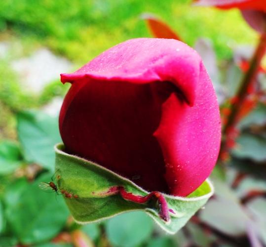 First Rose Bud, Spring Rose Bud, Spring