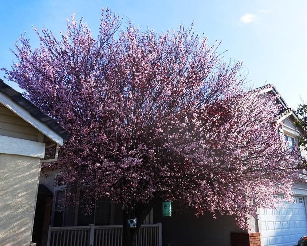Ornamental plum, spring blossoms, spring