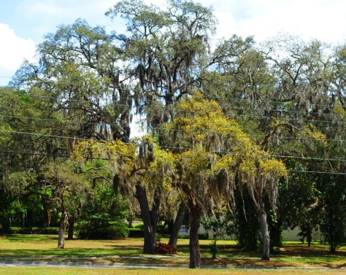 Trees, Florida, Temple Terrace, Spanish Moss