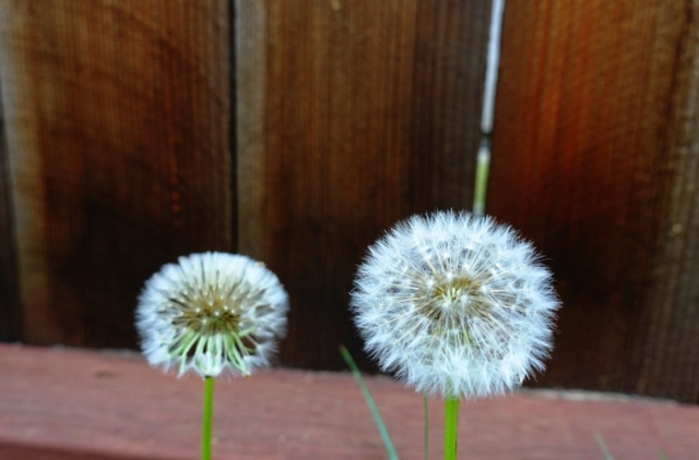 Dandelions, spring, signs of spring