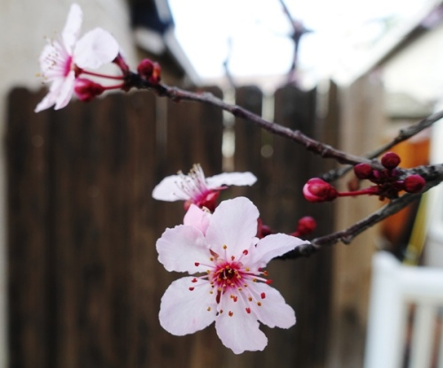 Blossoms, pink blossoms, plum blossoms, signs of spring