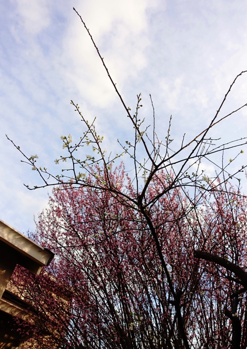 Blossoming trees, signs of spring