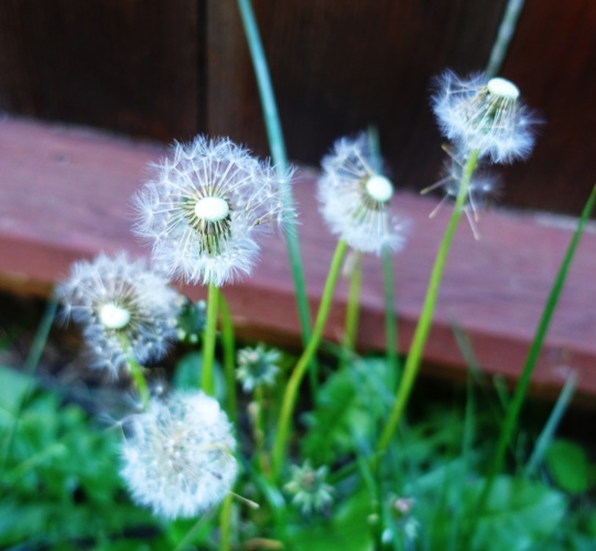 dandelions, spring yard work, spring time, puff balls