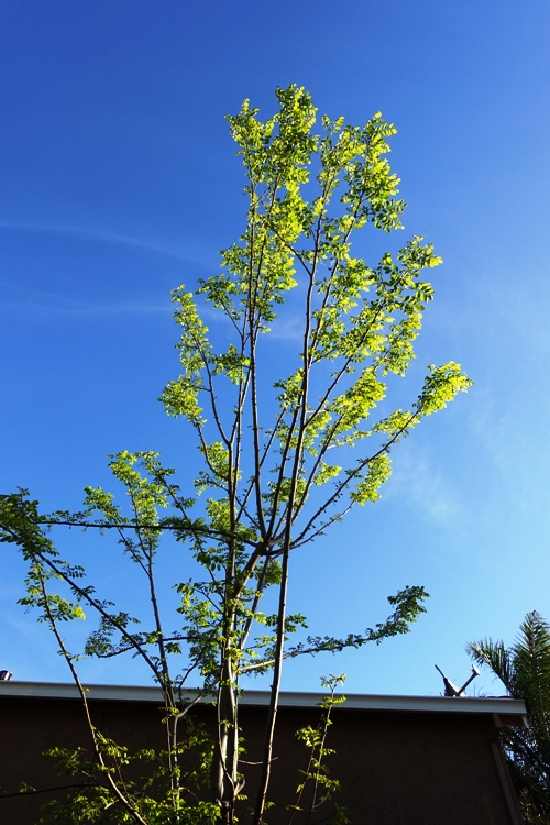 Spring Tree, new leaves,  spring time, back yard, tree and sky