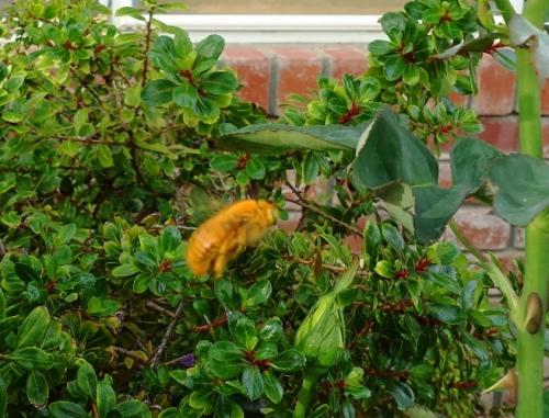 Valley Carpenter Bee, Rose Bushes, Pollinators, Xylocopa varipuncta