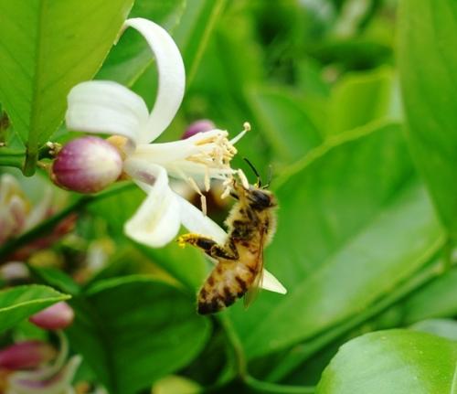 Honey Bee, Orange Blossom