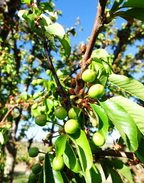 Cherry orchard, orchards, cherry tree, spring fruit
