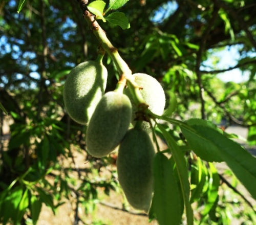 almonds, almond tree, almonds growing