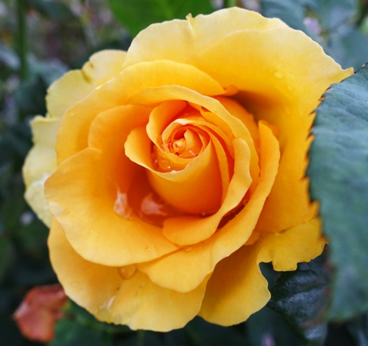 Yellow Rose, Raindrops on Roses, Rose Bloom