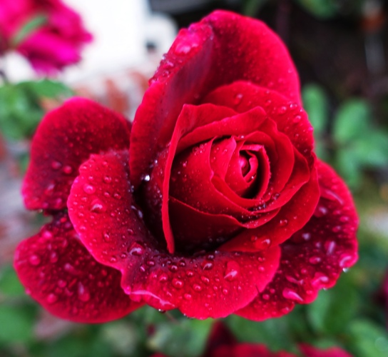 Red Rose, Mr. Lincoln, rose Bush, Raindrops on Roses