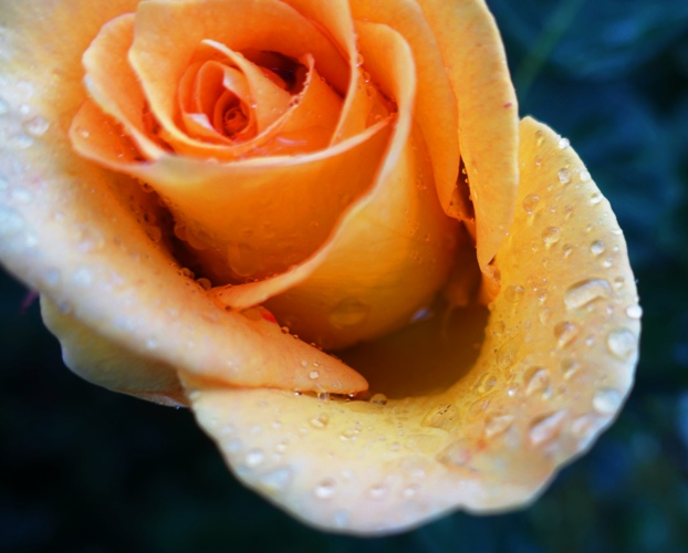 Yellow Rose, Raindrops on Roses