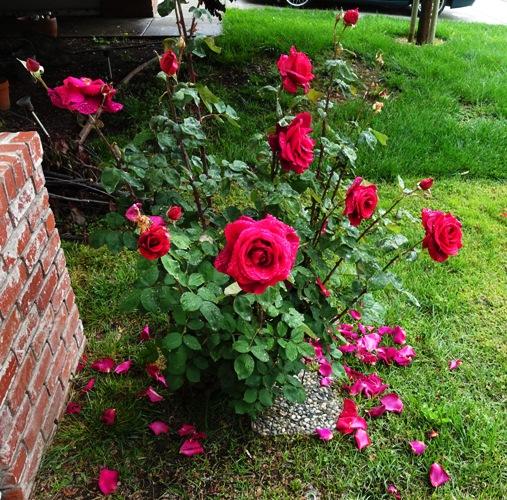 Rose, Rose Bush, Mr. Lincoln Rose Bush