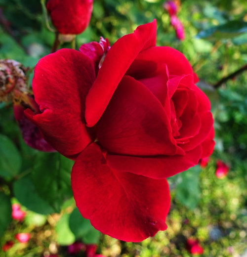 Rose Bloom, Red Rose, Fragant Rose, Mr. Lincoln Rose