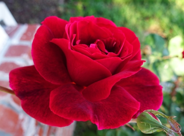 Mr. Lincoln Rose Bush, Rose Bush, Roses, Red Roses, spring roses