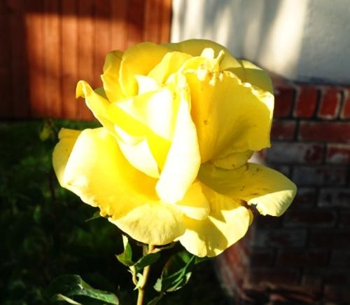 Yellow rose, sunlit roses, fragrant roses, spring roses
