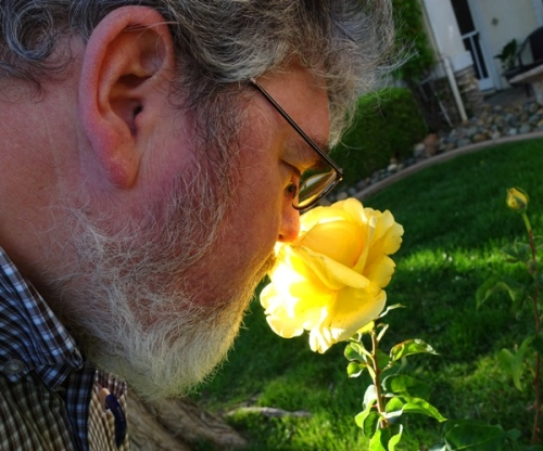 Stop and smell the roses, yellow rose, fragrant roses