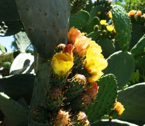 Prickly Pear Cactus, Cactus Blooms, Yellow Flowers, Flower Centers