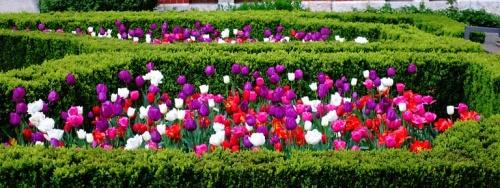 German tulips, spring, aalen germany