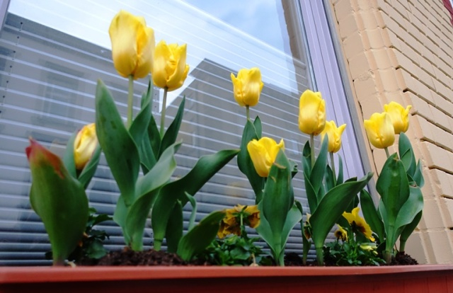 Yellow Tulips, Aalen, Germany