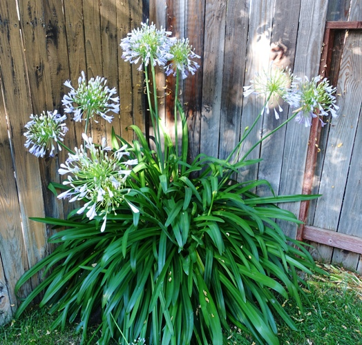 Agapanthus blooms, canes, agapanthus, summer