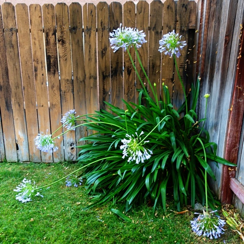 Agapanthus, canes, bent canes, flowers