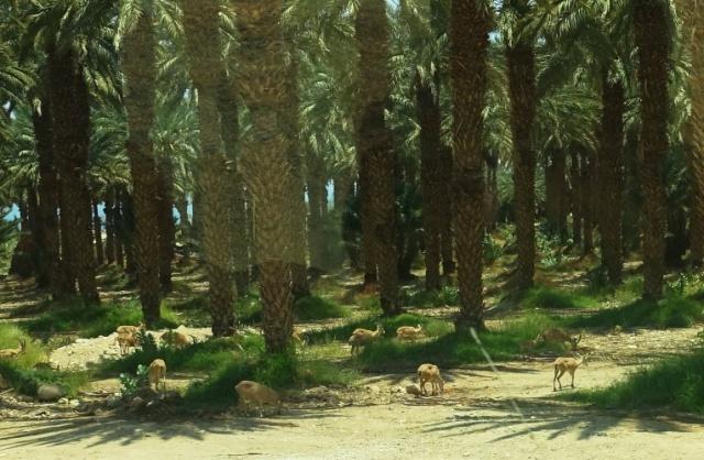 Ibex at En Gedi, Oasis, Dead Sea