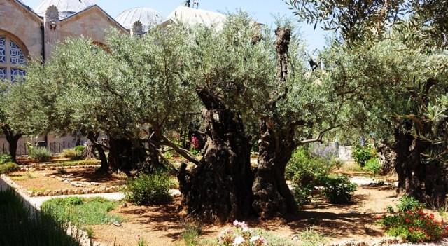 Gethsemane, Olive Trees, Garden