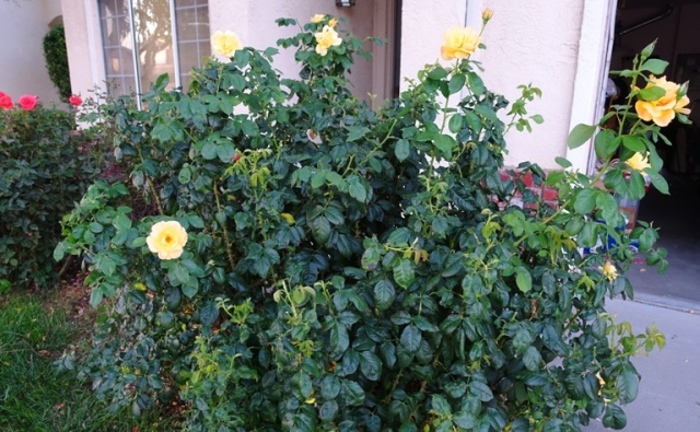trimmed rose bushes, deadheading roses, yard work